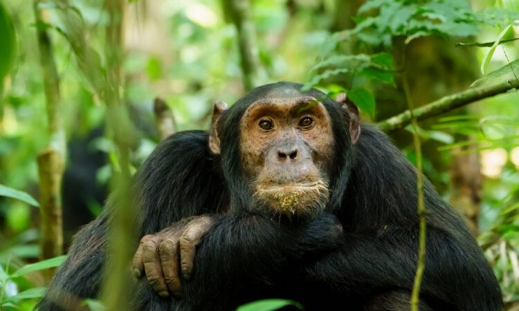 chimpanzee habituation experience in Uganda